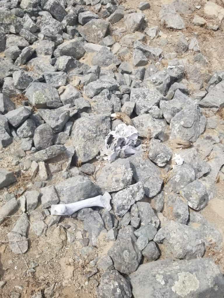 Un crâne d'animal à Cerro Mongon, certainement un ovidé