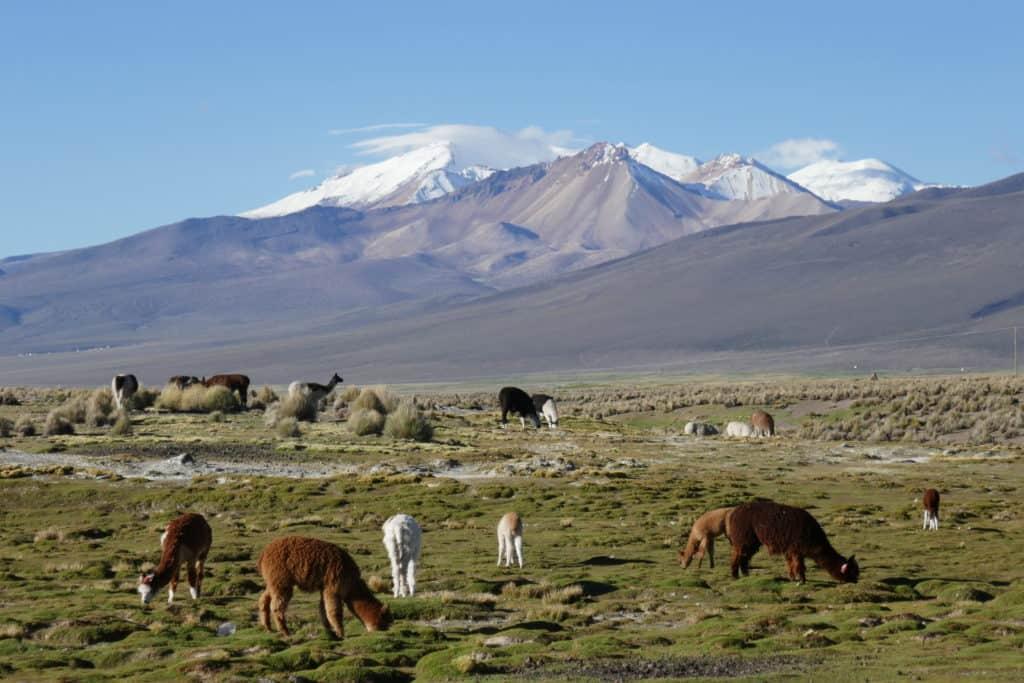 paysage de l'altiplano et llamas au Sajama, Bolivie