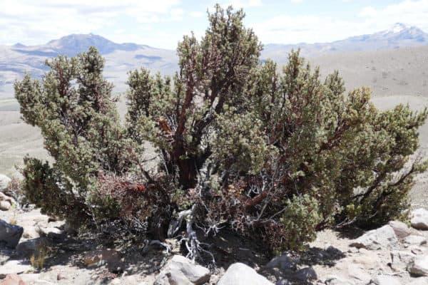 Grand arbre queñua au Sajama, Bolivie