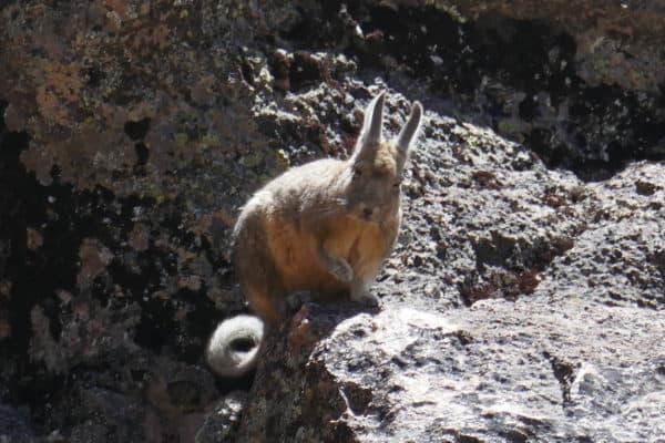 Viscache de près au Sajama, Bolivie