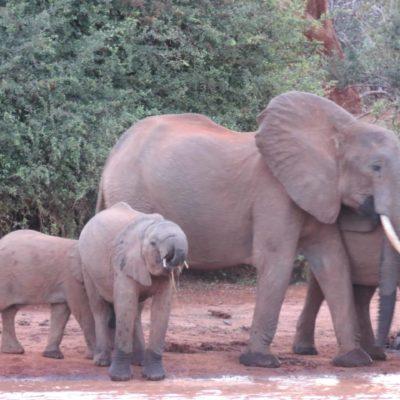 Des géants décimés pour une poignée d'ivoire, les dessous du braconnage d'éléphants au Kenya