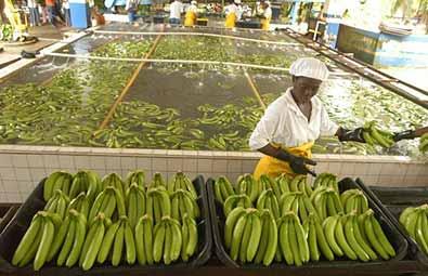 para-banane